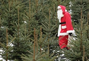 Christmas Trees Add To Allergies