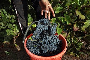 Concord Grapes Help Brain Function