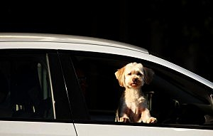 Distracted By Dog While Driving