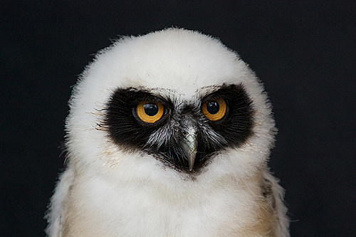 A Baby Owl is called an Owlet