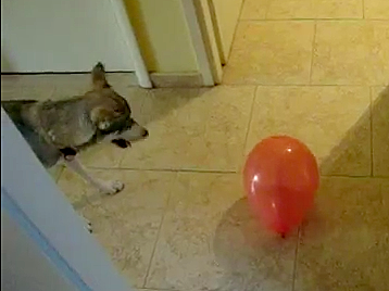 Dog Sees Balloon for the First Time