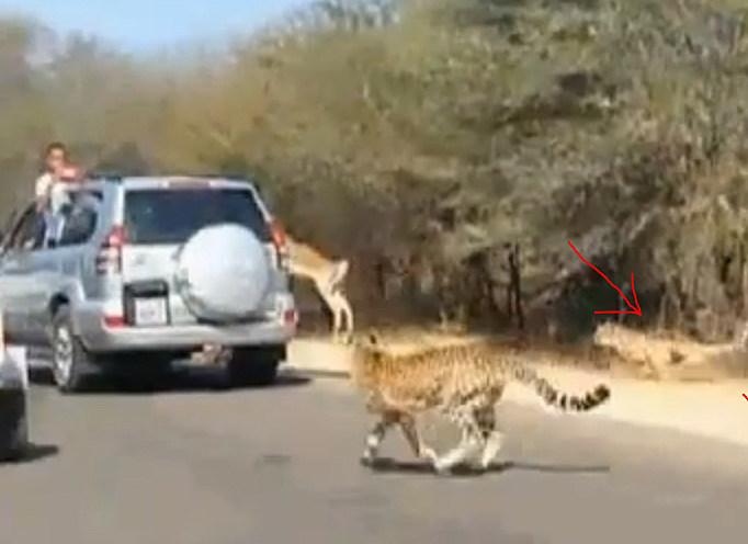 Antelope and Cheetahs