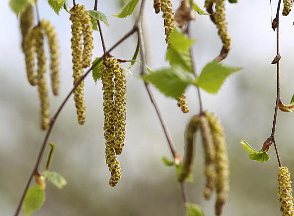Ragwee plants