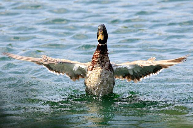 ducks invade cvs in saratoga springs