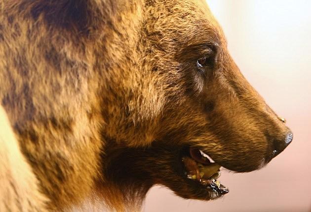 Brown Bear Bruno
