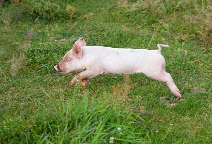Female pig orgasm