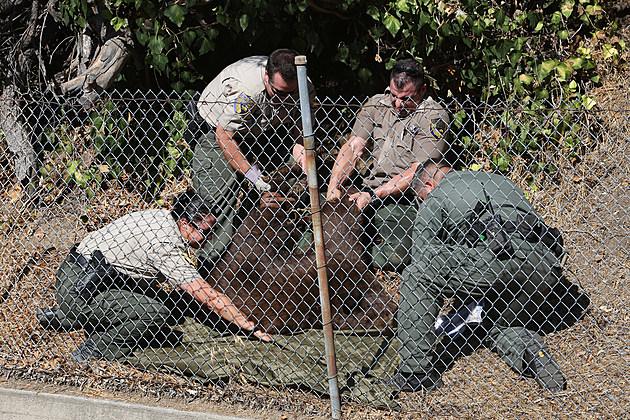 Bear Being Captured