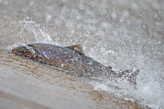Salmon Tagged As They Swim Upstream From The Atlantic