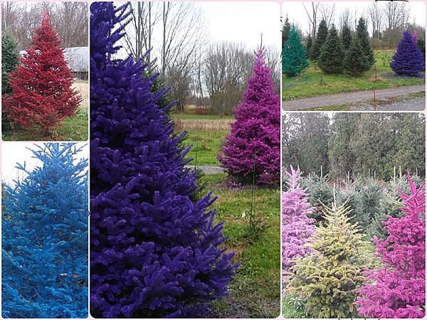 Tad Polly Get The Dirt On Real Colored Christmas Trees