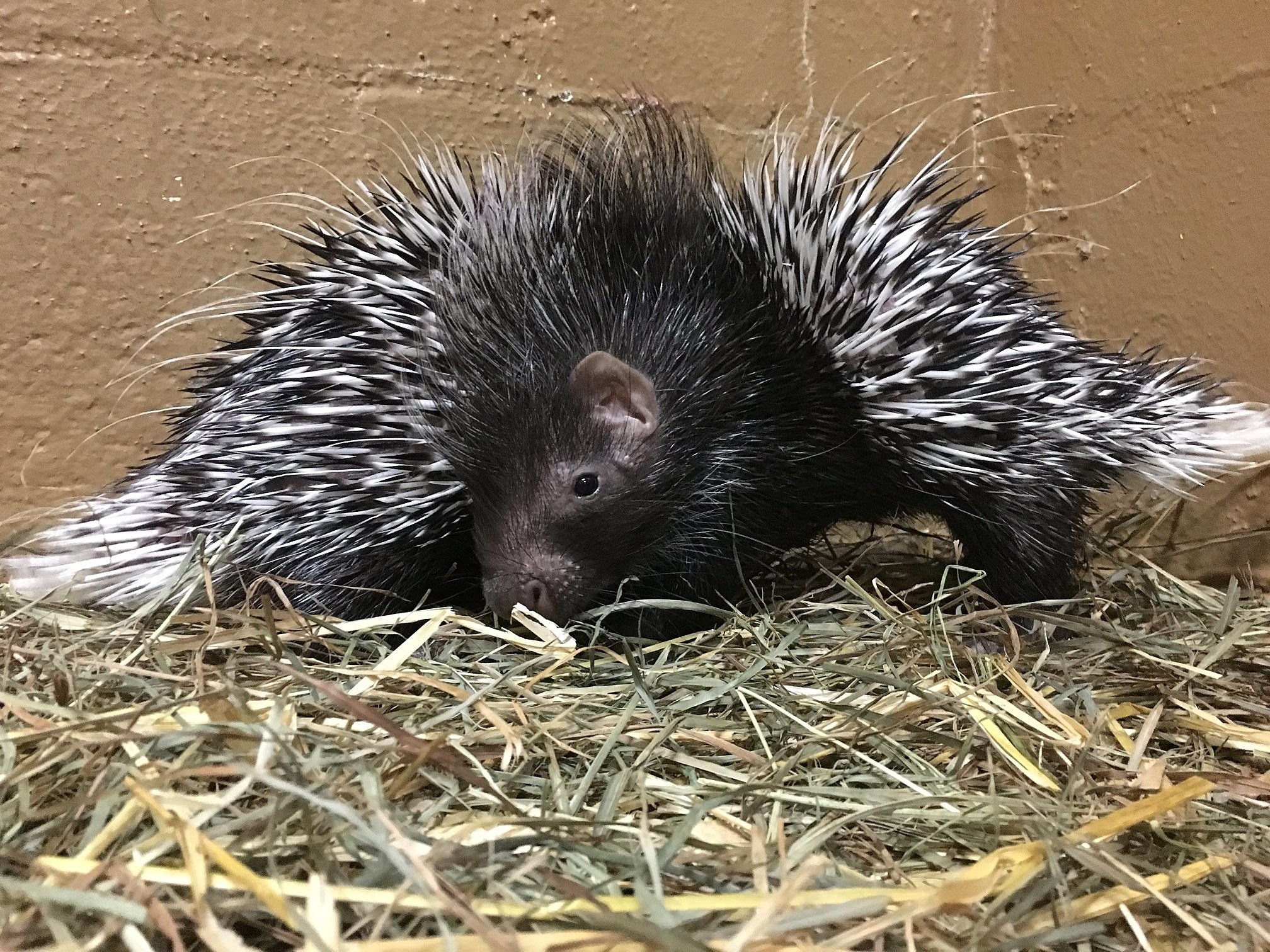 Utica Zoo Welcomes Two Baby Porcupines